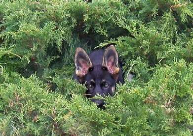11wks_venus_hiding_in_bushes