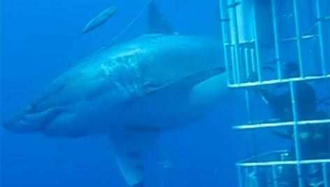 deep blue shark