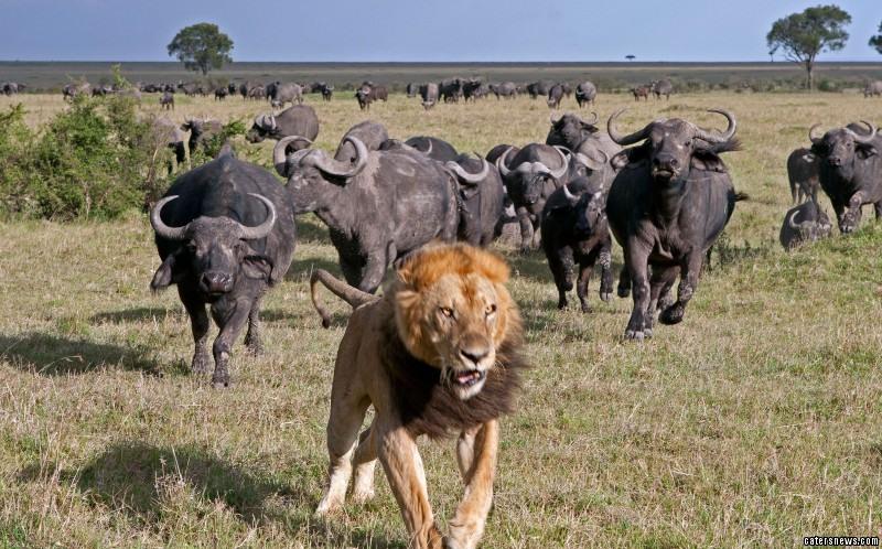lion runs away