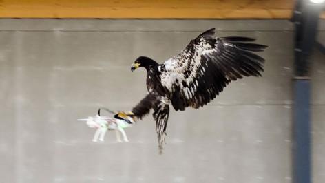 eagle-takes-down-dji-drone