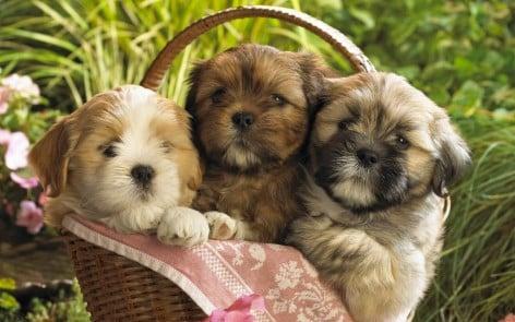 Cute-3-Puppies-Wallpaper